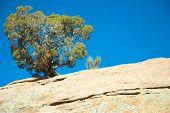 Red Rock Juniper