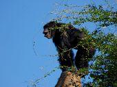 Chimp Song