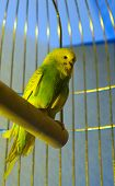 Small budgerigar in golden cage