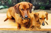 Постер, плакат: Dachshund Dog In Outdoor Beautiful Dachshund Sitting In The W