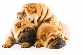Group of three beautiful sharpei puppies isolated on white background