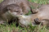 Wild Otters Playing. Affectionate River Animal Pair Social Bonding Activity. Beautiful Wildlife Imag poster
