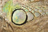 Green Iguana Skin