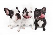 French Bulldogs Isolated Over White Background poster