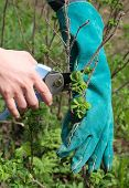 Cut Off The Dry Branches Of Briar With Secateurs