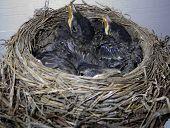 Little Robins