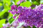 Summer Background With Blooming Lilac Flowers. Blooming Lilac Flowers Lit By Sunlight. Selective Foc poster