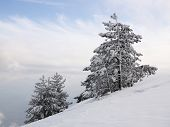 Pines On The Snow-covered Slope