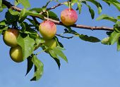 Nearly Ripe Plums, 'Prunus Domestica'