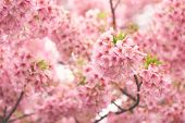 Pink Cherry Blossom(cherry Blossom, Japanese Flowering Cherry) On The Sakura Tree. Sakura Flowers Ar poster