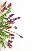 Lavendel en rozemarijn op wit wordt geïsoleerd