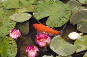 Carp In Pond Of Water Lily