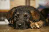 German Shepherd Puppies2