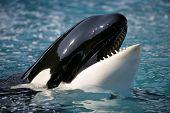 Killer Whale25