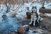 Portrait Red Siberian Husky Sitting By The Bonfire In Winter Forest In Sunny Frosty Day. Dog Smiles  poster