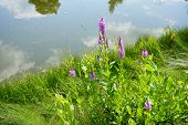 False Dragonhead Flowers (physostegia Virginiana), Also Called Obedient Plants, Or Obedience, Bloom  poster
