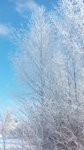 Landscape Russian Winter Clear Frosty Day Frost Frosts Siberian Cold Snow Frost poster
