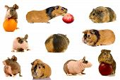 Group of different breeds of guinea pigs