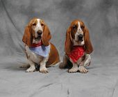 Pair Of Basset Hounds