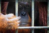 orangutang in Kubah National Park malaysia