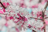 Flowering Branches Of Apple Tree In A Spring Orchard, Close-up. Photo Toned, Selective Focus poster