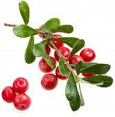 Bearberry ( Arctostaphylos Officinalis ) on white