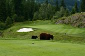 Bears on the golf course