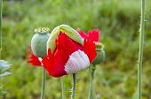 foto of defloration  - Unfolding red white color poppy - JPG