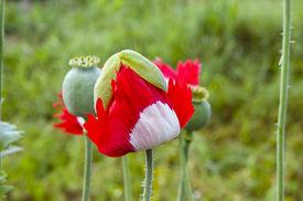 stock photo of defloration  - Unfolding red white color poppy - JPG