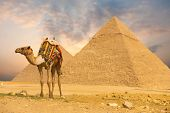 Camel Standing Front Pyramids H