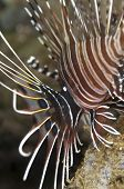 Spotfin Lionfish with Parasites