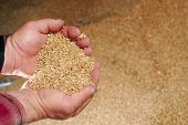 Durum Wheat In Farmers Hands