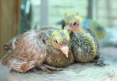 Pigeon Nestling Little