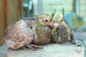 Pigeon Nestlings Bird Sitting Together