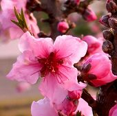 Bright Pink Peach Blossom