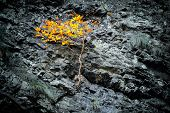Tree With Orange Leaves Grows On A Stone Slope Of A Cliff. The Concept Of Overcoming Difficulties An poster