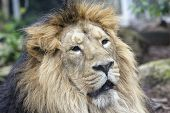 Asiatic Lion - Panthera Leo Persica  Rare Indian Sub-species poster