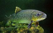 image of trout fishing  - Underwater photo of The Brown Trout  - JPG