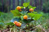 Cloudberry Closeup In Summer. Fresh Wild Fruit