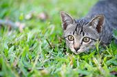 Kitten Crouched On The Grass, Looking At The Victim.cat On The Green Grass. Kitten Is Playing On The poster
