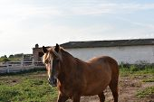 Horse Farm Scene. Farm Horse. The Horse Is Red With White Spots. Horse On A Ranch On A Farm In The S poster