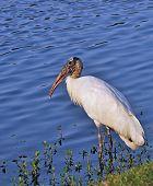 A Wood Stork, Florida