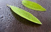 leaves on wet black wenge