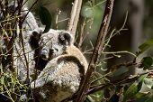 The Mother Koala Carries Her Joey On Her Back poster