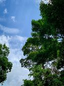 Bottom View Of Green Tree In Tropical Forest With Bright Blue Sky And White Cloud. Bottom View Of Tr poster