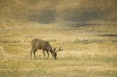 picture of blacktail  - California Blacktail bucks browsing on sparce green shoots in the summer some with hard antlers and some still in velvet - JPG