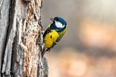A Tit Is Looking For Food On A Tree Trunk. Great Tit, Parus Major, On Tree Trunk In Search Of Food I poster