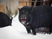 Funny Big Pig In The Snow. Funny Animal poster
