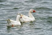 Domestic Goose (anser Cygnoides Domesticus) In Profile. Domesticated Grey Goose, Greylag Goose Or Wh poster