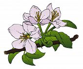 stock photo of stippling  - A realistic vector drawing of a group of apple blossoms on a branch - JPG